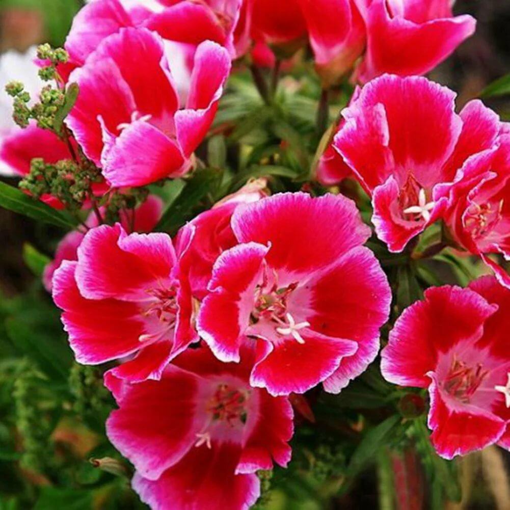 Сроки и правила посадки семян годеции на рассаду в домашних условиях