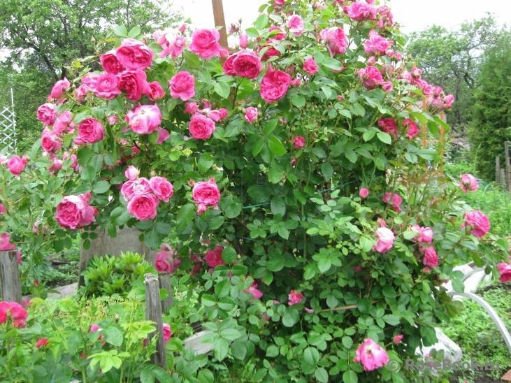 Канадские розы: сорта с описанием для посадки в грунт