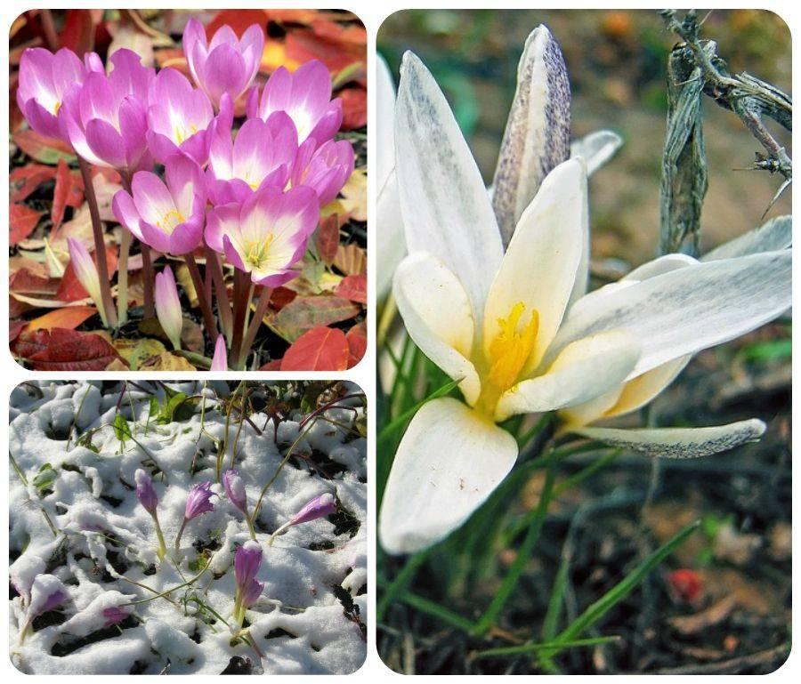 Безвременник великолепный (30 фото): описание травянистого растения, выращивание в открытом грунте