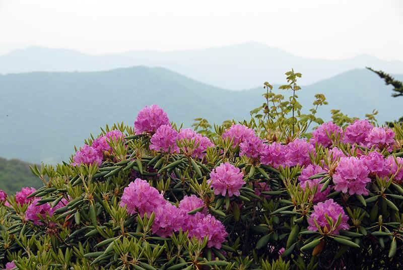 Рододендрон золотистый: полезные свойства и рецепты применения