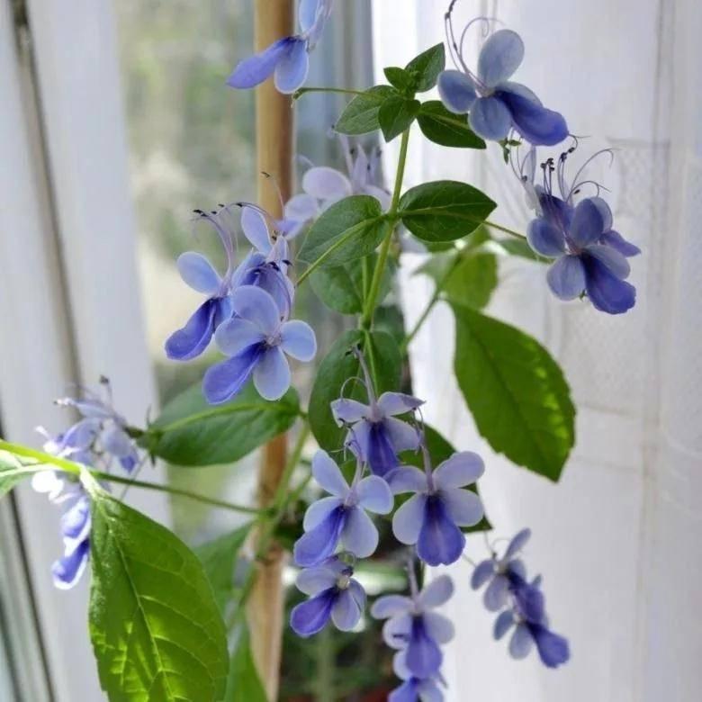 Дерево судьбы: как выращивать клеродендрум в домашних условиях