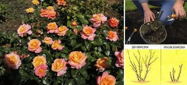 Английские розы — посадка и уход