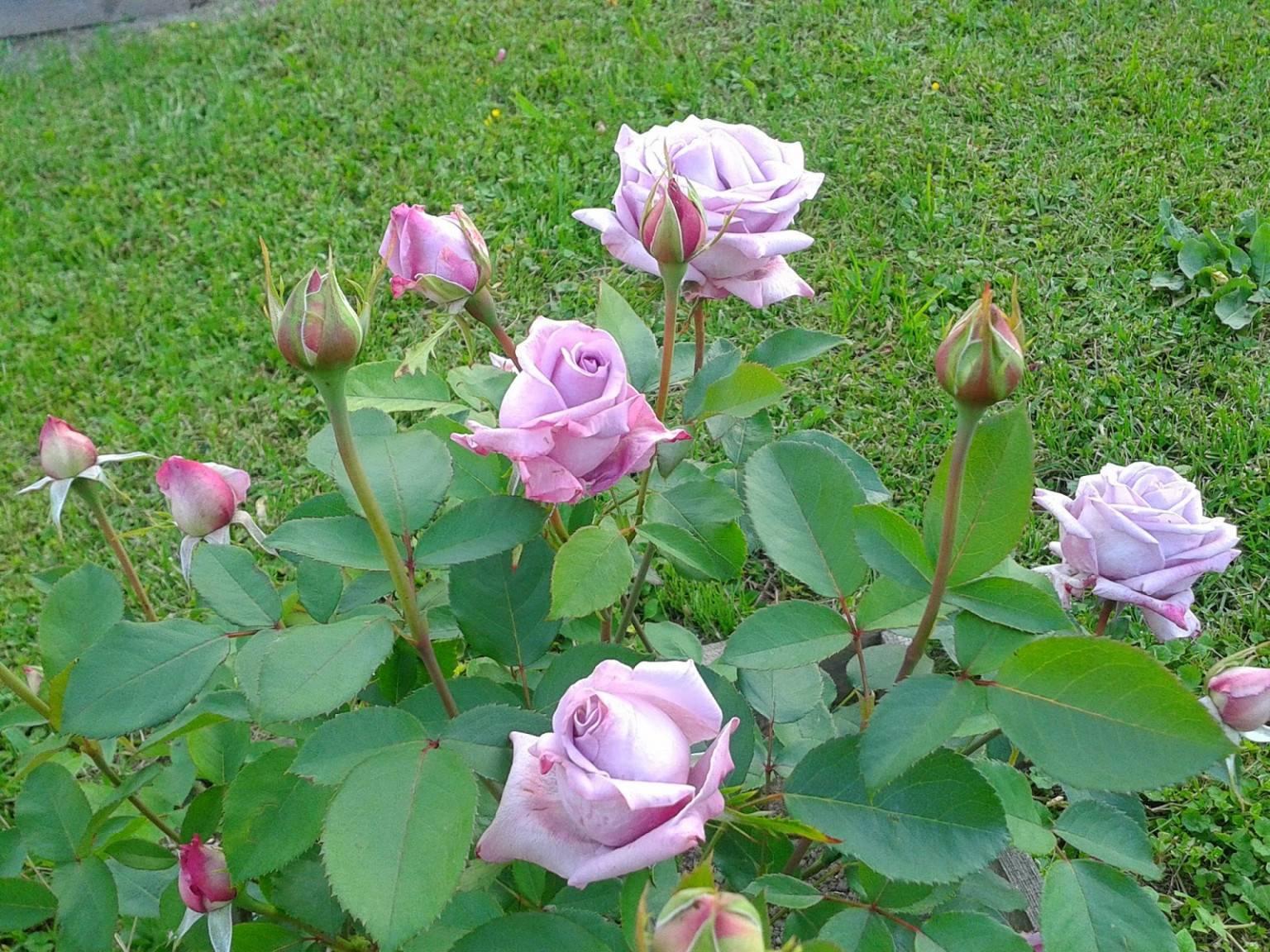 Саженцы роз майнцер фастнахт mainzer fastnacht, цена 180 руб., купить в белгороде — tiu.ru (id#15786895)