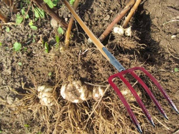 Советы цветоводов: когда и как пересаживать лилии