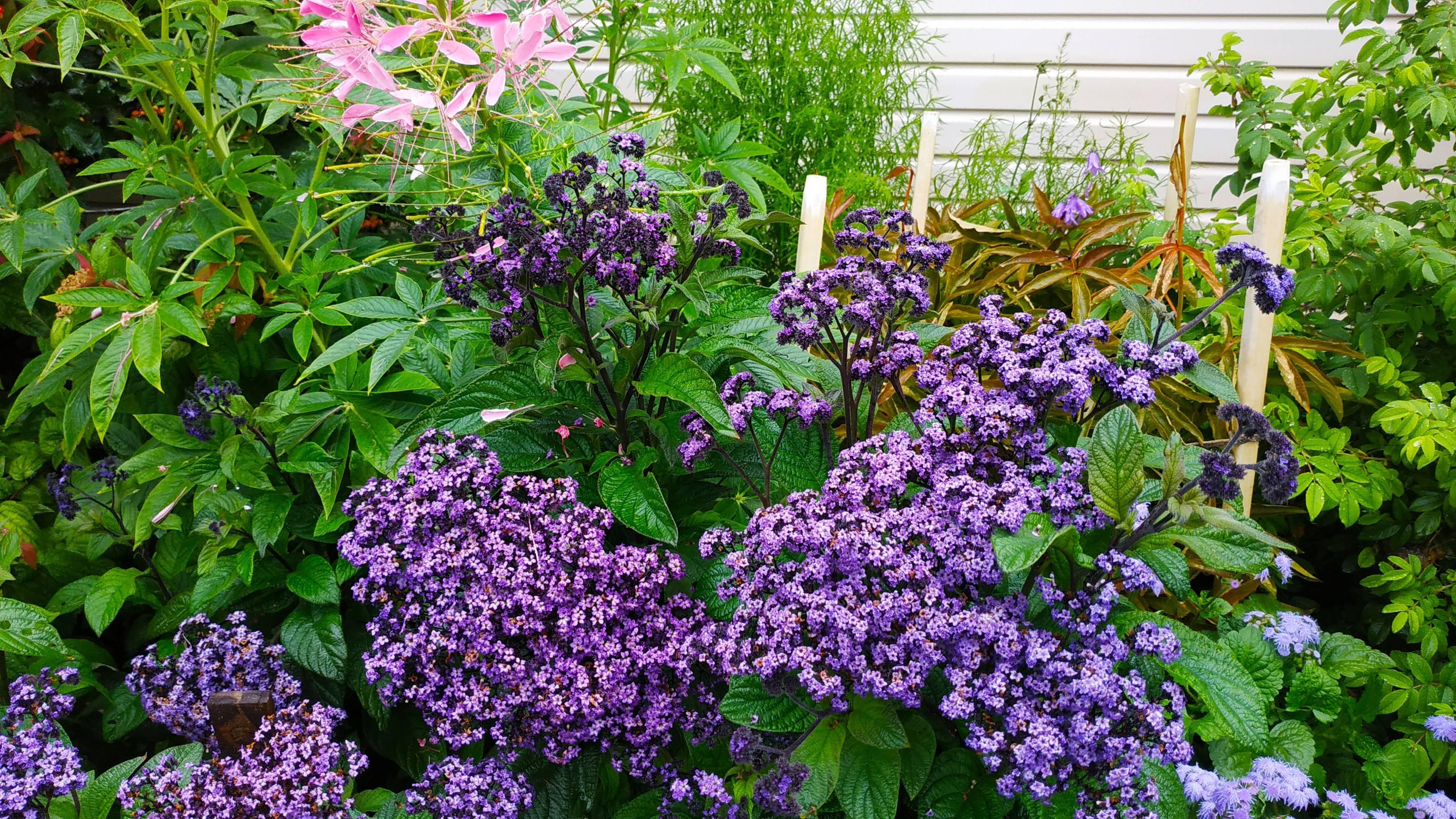 Гелиотроп цветок выращивание в домашних условиях - пошаговые рекомендации