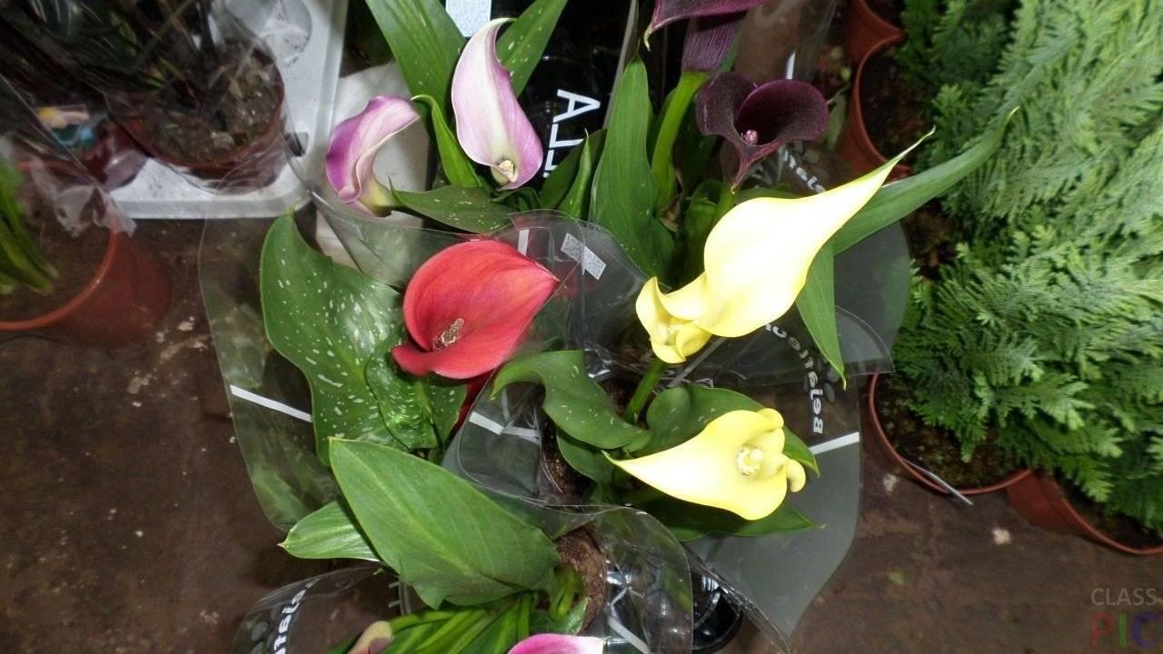 Цветы каллы — выращивание и уход в домашних условиях