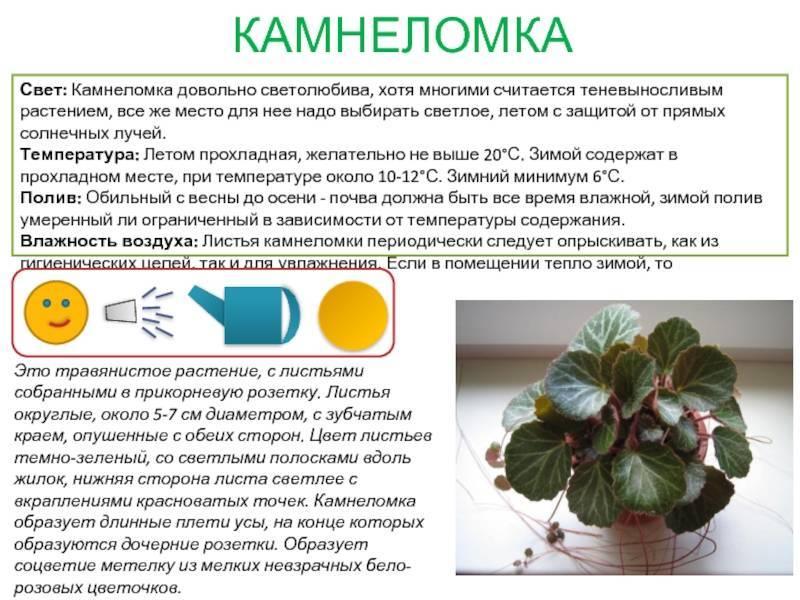 Кордилина киви: фото, описание, особенности ухода в домашних условиях