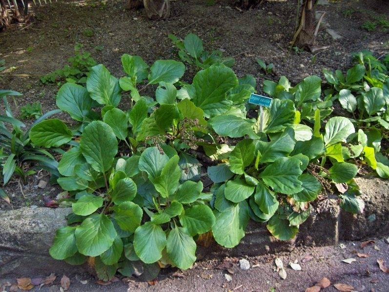 Бадан: выращивание, посадка и уход в открытом грунте, фото, свойства