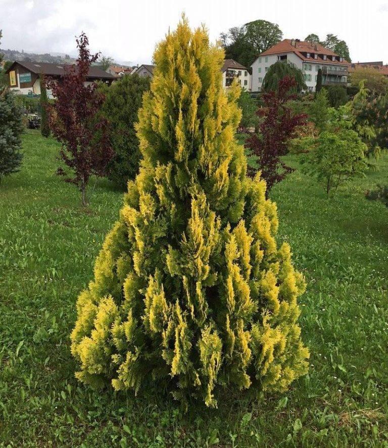 Туя Еллоу Риббон (Yellow Ribbon) западная — описание