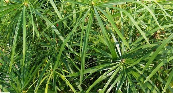 Уход за циперусом, домашним растением, виды: папирус, хелфера, зумула и др.