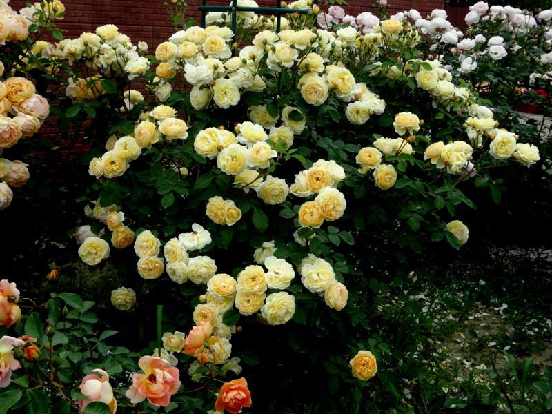 Парковая роза: посадка и уход в открытом грунте