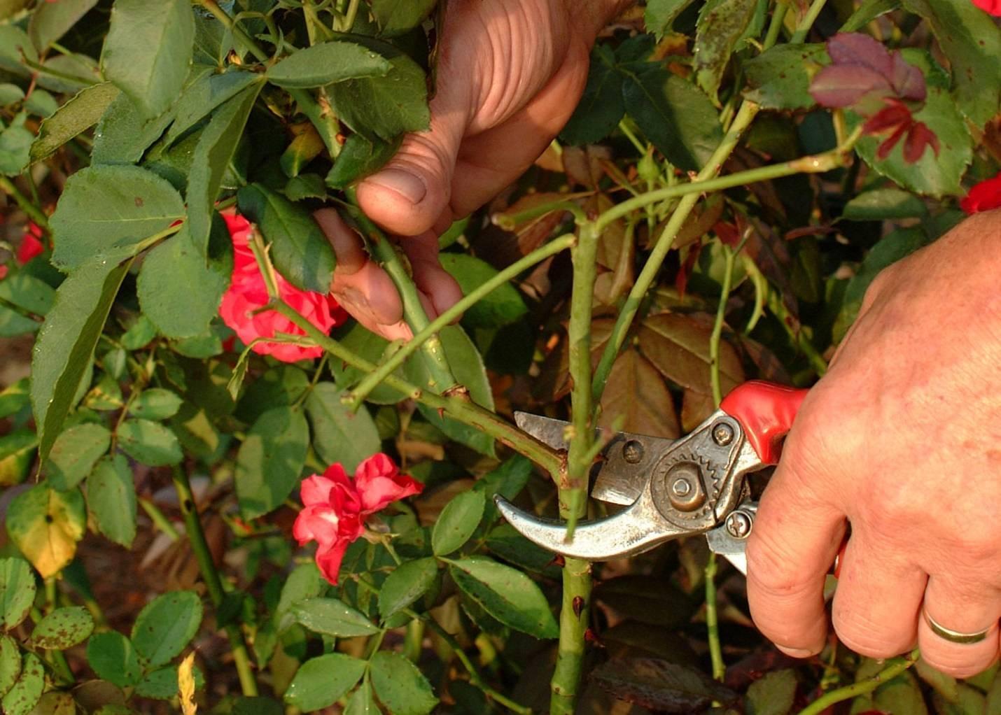 Как заставить цвести китайскую розу?