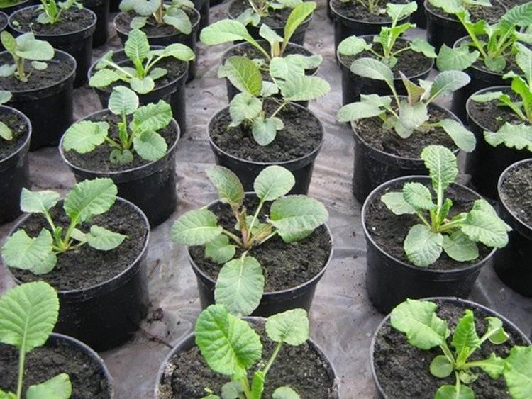 Секреты выращивания из семян многолетней садовой примулы, а также советы по посадке и уходу