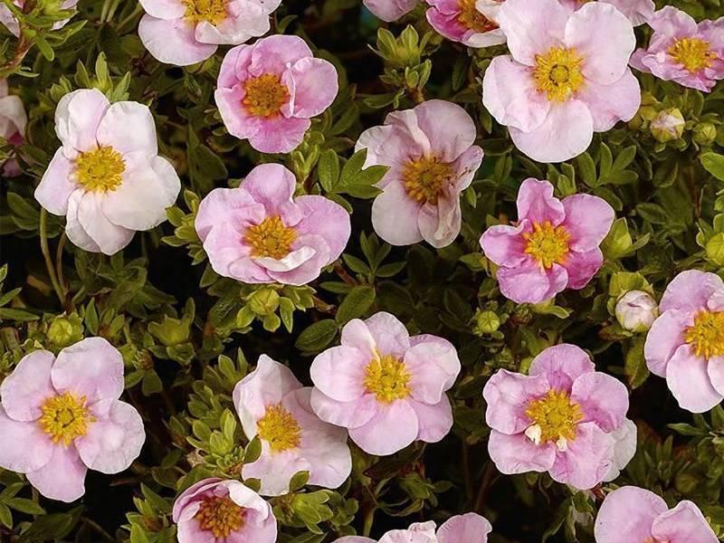 Проблемы с цветением лапчатки в открытом грунте: болезни, вредители, как удобрить