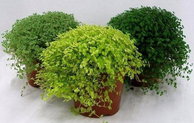 Зеленый шар солейролии в домашних условиях