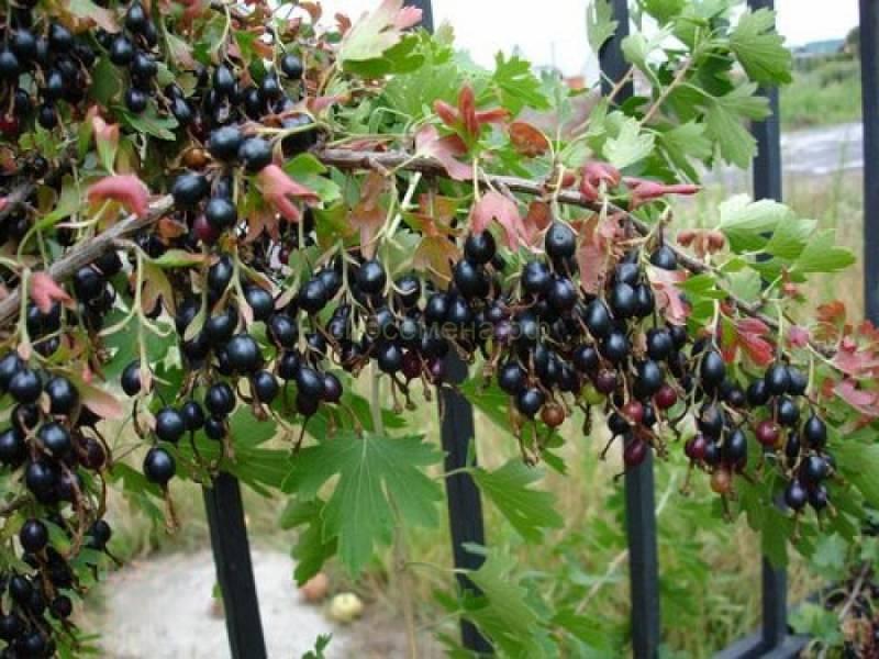 Гибрид крыжовника и черной смородины — сорта, фото, видео