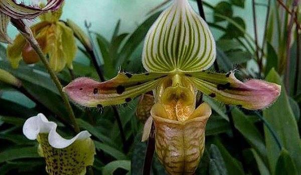 Венерин башмачок: популярные виды и условия ухода за цветком