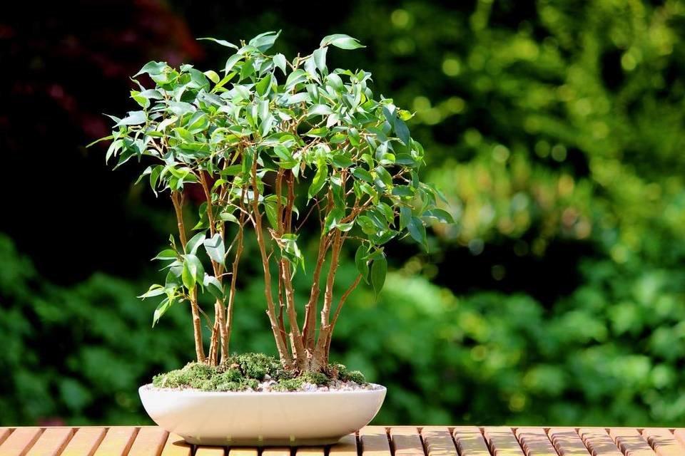 Выращивание фикуса али: как посадить, ухаживать, удобрять, размножать