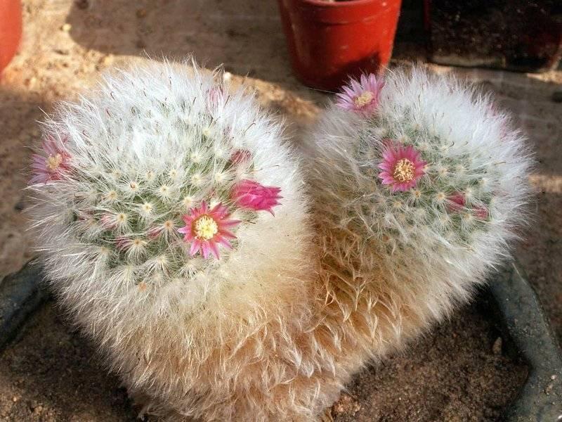 Удивительный кактус маммиллярия пролифера. выращивание и уход, похожие цветы