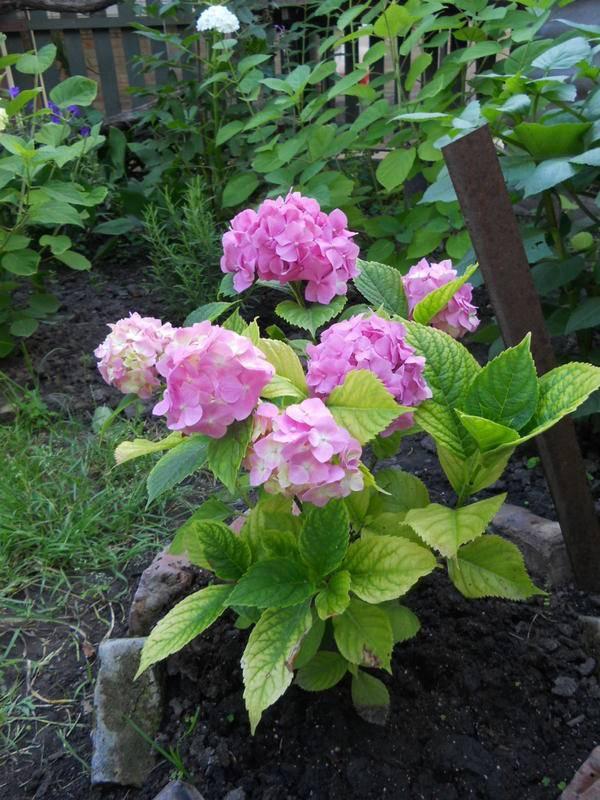 Как изменить цвет гортензии с белого на голубой или розовый