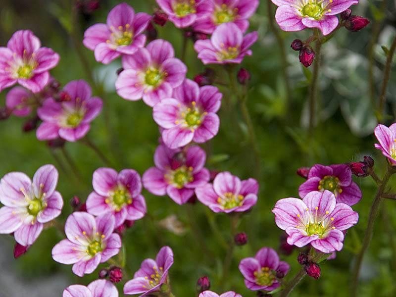 Цветок камнеломка: фото и названия видов, посадки, ухода и выращивания растения в саду