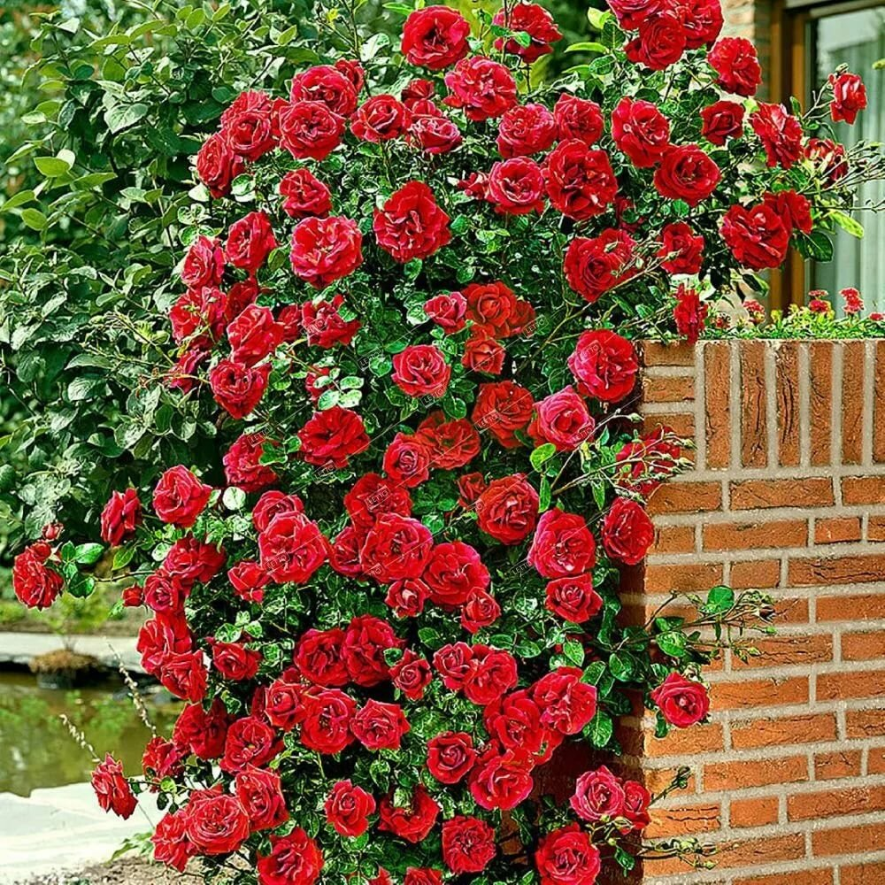 сорта роз с фото и названиями плетистые большие анимация прекрасные