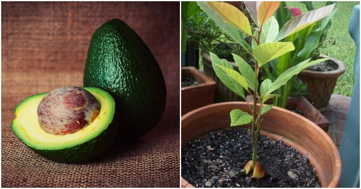 Правила и секреты выращивания авокадо из косточки в домашних условиях