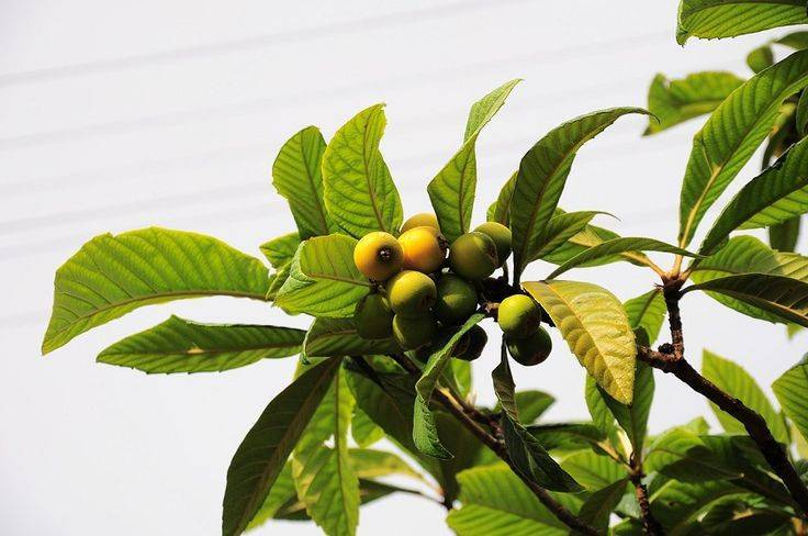 Кавказская мушмула: выращивание в домашних условиях, уход за саженцами и когда цветёт
