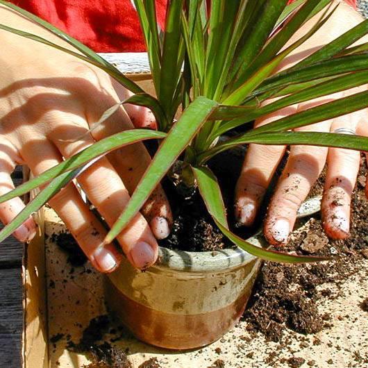 Как поливать драцену для правильного выращивания дома
