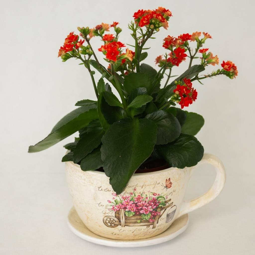 Каланхоэ: описание декоративного цветка c фото,  история, комнатное и уличное растение