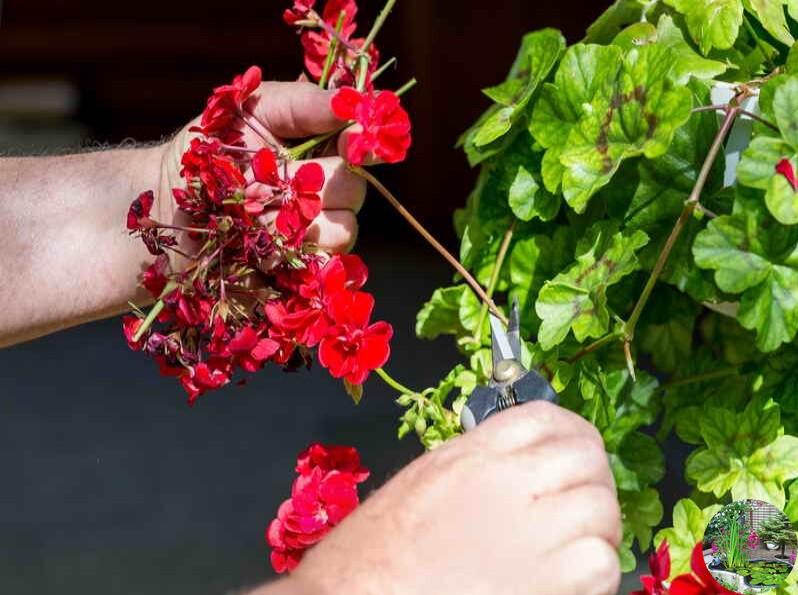 Как обрезать герань: можно и нужно ли, а также когда и как правильно проводить процедуру в домашних условиях, что делать, чтобы она была пушистая и фото растения
