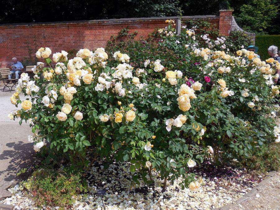 Выращивание сорта плетистых роз маритим: условия содержания, уход для цветения