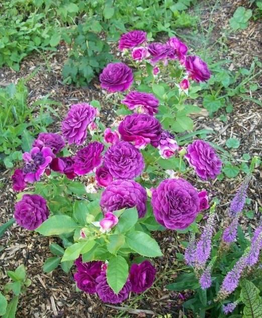 Сорт розы эбб тайд