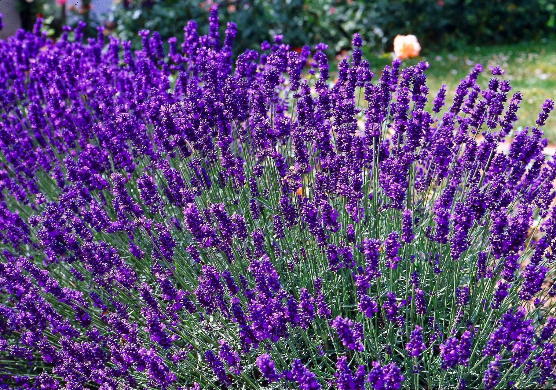 Ароматный цветок лаванда—  полезные свойства и способы применения