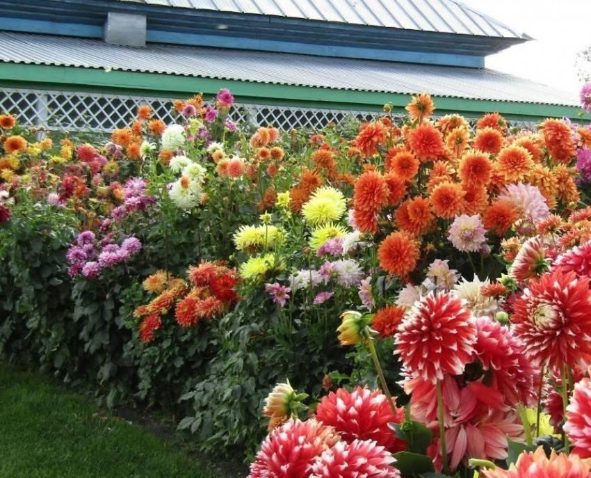 Посадка и уход за гибикусом в открытом грунте: можно ли весной поместить на улицу, как зимуют кустарниковые и другие цветы, сорта для выращивания на даче с фото