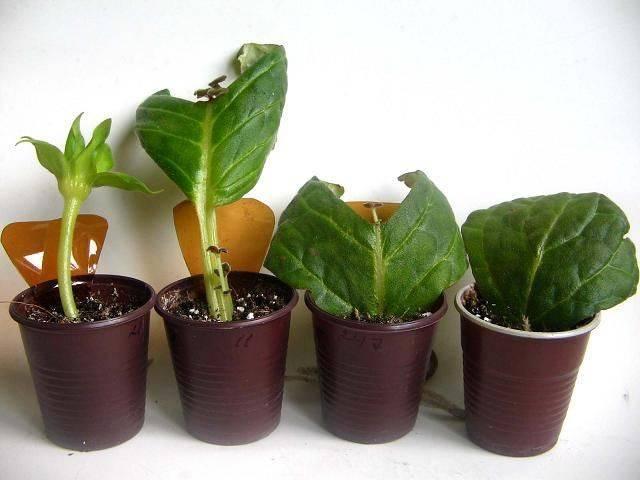 Обильноцветущая культура стрептокарпус: уход в домашних условиях, особенности полива, подкормки и способы размножения растения