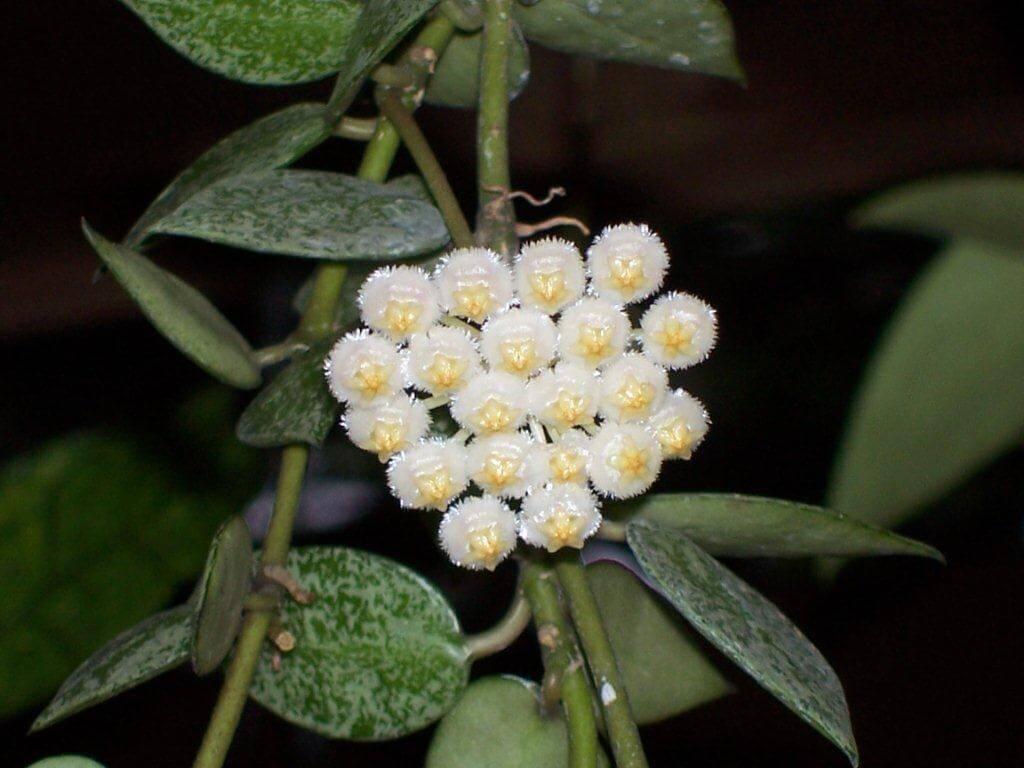 Восковой плющ или хойя: уход в домашних условиях, нюансы выращивания вечнозеленой тропической лианы