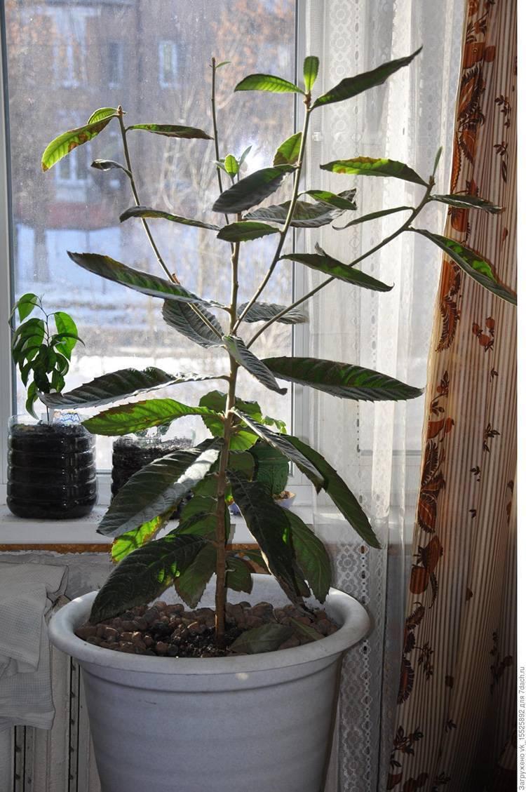 Вечнозеленый личи: выращивание дерева из косточки