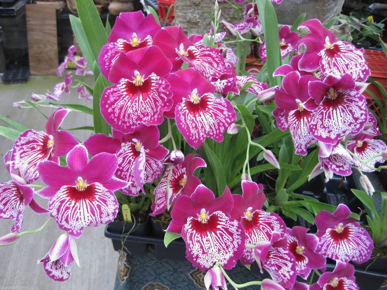 Орхидея мильтония: уход в домашних условиях