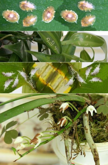 Мучнистый червец на орхидеях – как избавиться от вредителя, эффективное лечение народными средствами и химическим препаратами