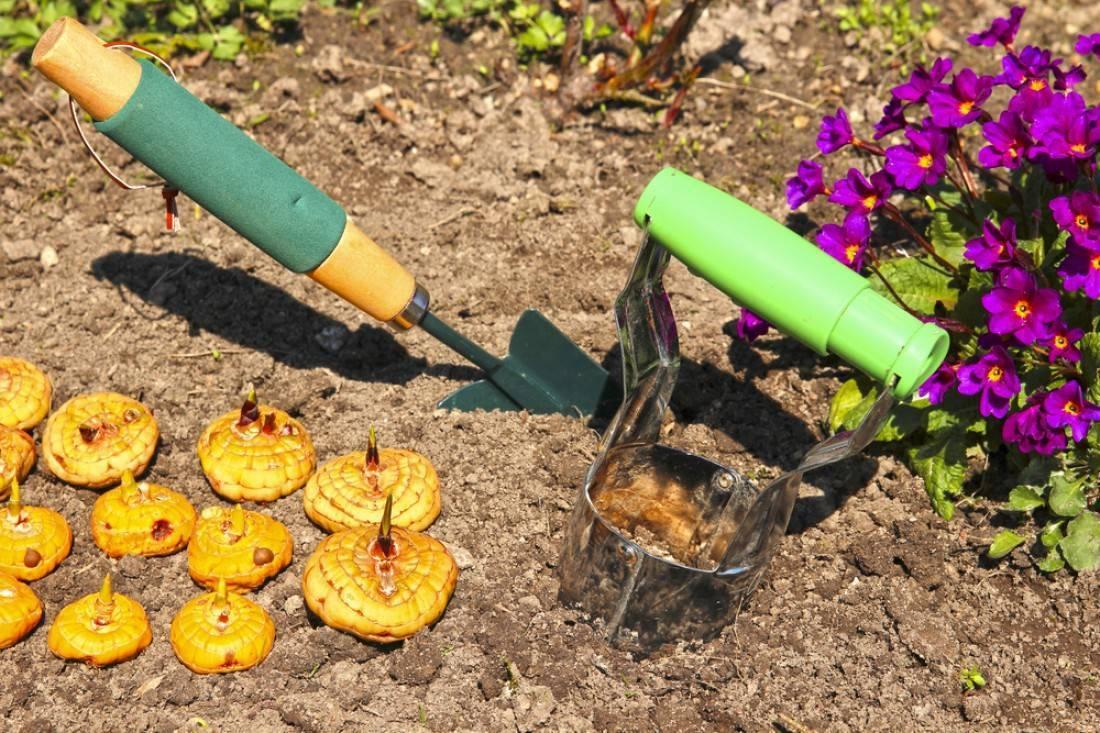 Гладиолус: посадка и уход, почва, полив, когда сажать, уход после посадки