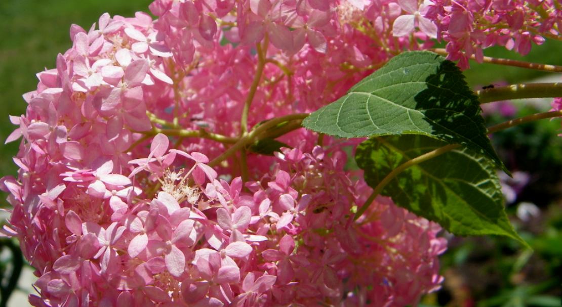 Гортензия древовидная пинк анабель (pink annabelle)