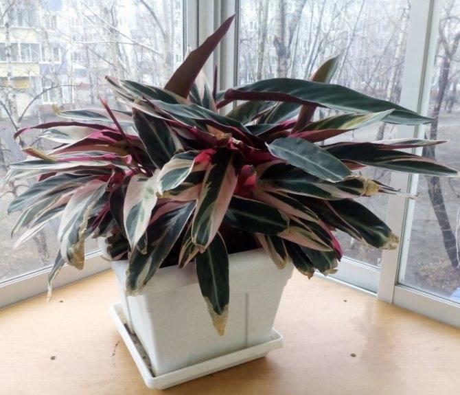 Цветок строманта: фото видов комнатного растения, уход в домашних условиях и размножение комна