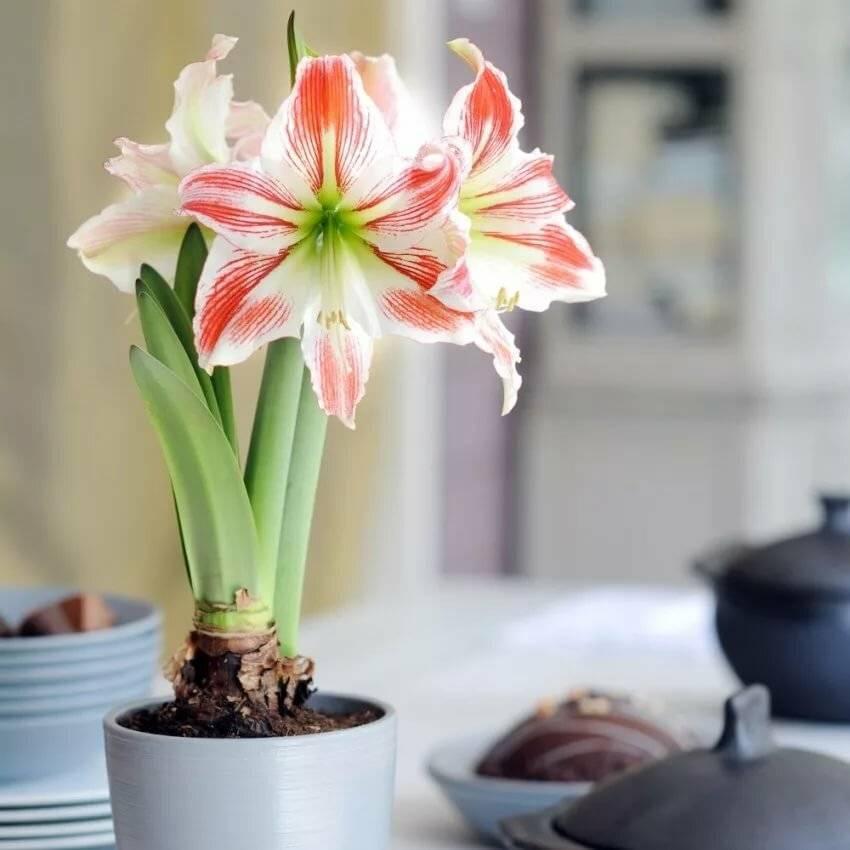Почему не цветут амариллисы в домашних условиях, а только выпускают листья, уход