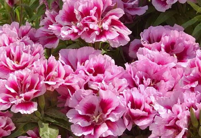 Цветы годеция — посадка и уход в домашних условиях