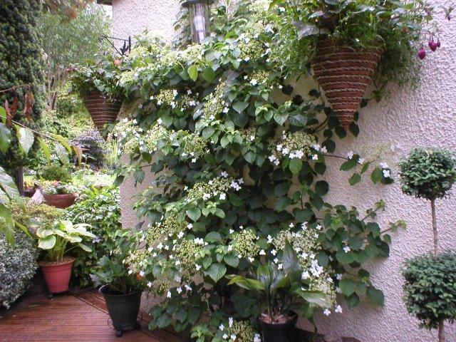 Гортензия черешковая (вьющаяся, плетистая): посадка и уход в открытом грунте