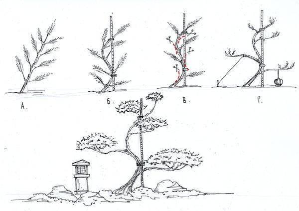 Сосна бонсай своими руками на садовом участке