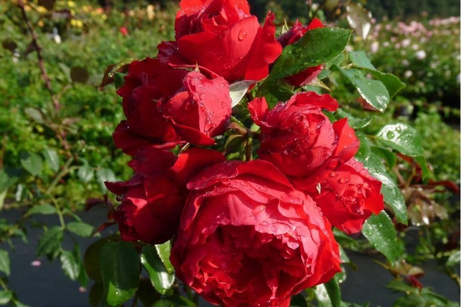Розы флорибунда: описание, посадка, выращивание и уход