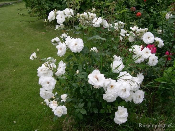 Уход за плетистой розой сорта шнеевитхен (белоснежка) из группы флорибунда