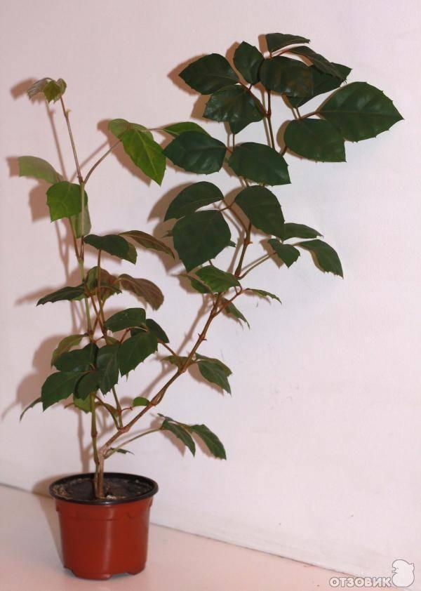 Комнатное растение березка - уход в домашних условиях